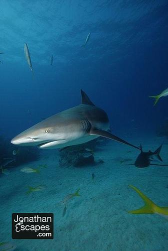 caribbean-reef-sharks-02