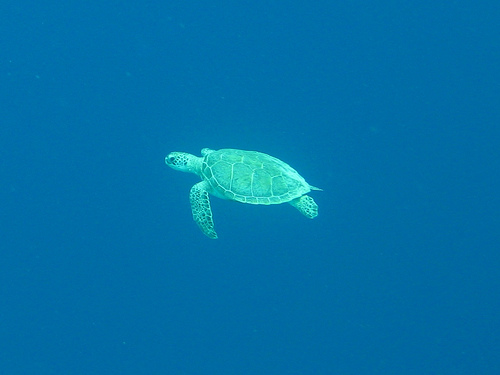 green-sea-turtle-pictures-01