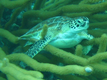 green-sea-turtle-pictures-02