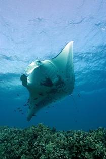 manta-ray-NOAA-National-Ocean-Service