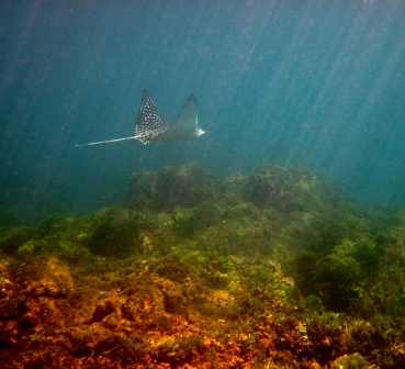 spotted-eagle-ray-01