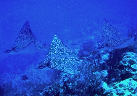 spotted-eagle-ray-02