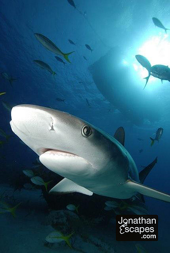 caribbean-reef-shark-01